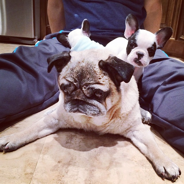 pug and frenchie pups