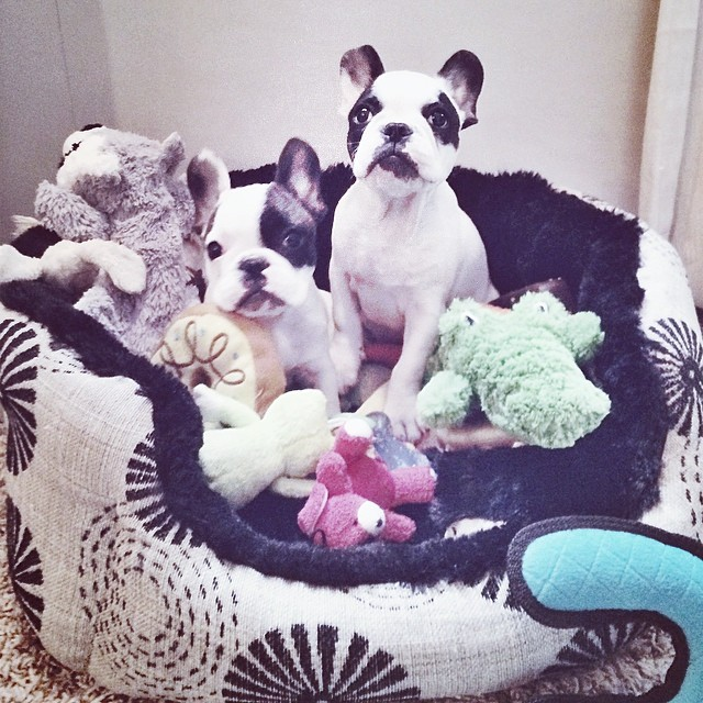 puppies with their toys in bed