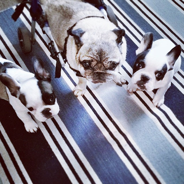 puppies on the striped rug