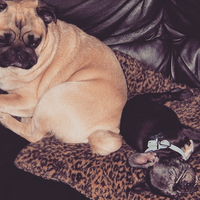 Pug and baby french bulldog puppy