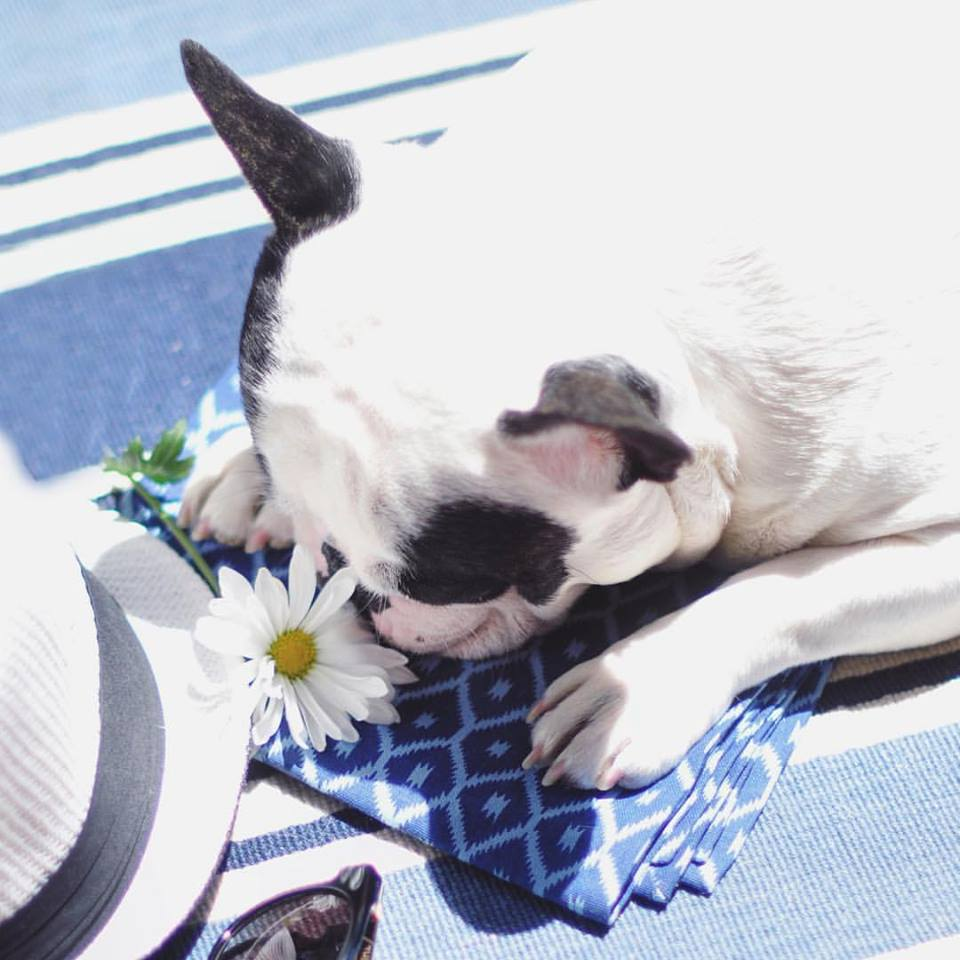 french bulldog pup sniffing a daisy