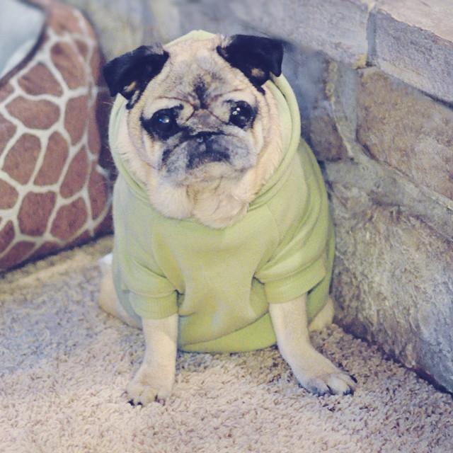 old pug in a sweatshirt