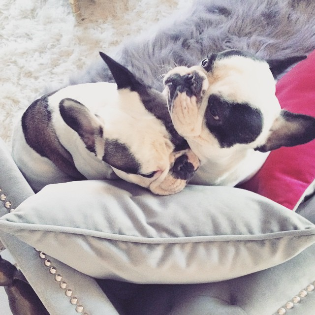 pied frenchie brothers