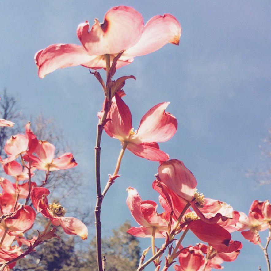 pink dogwood flowering tree