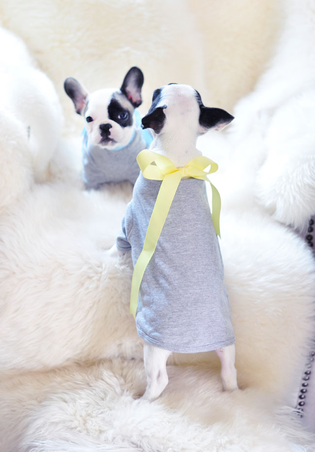 2 Frenchie pups in t-shirts with bows