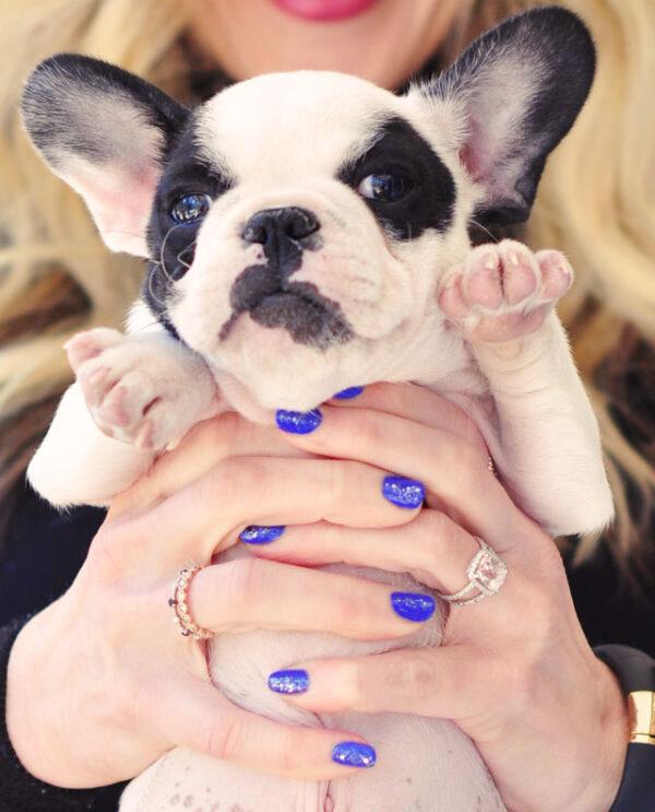 french bulldog puppy, blue glitter nail art