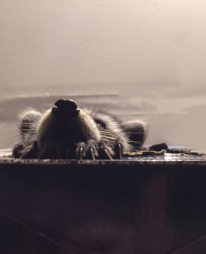 Baby raccoon noses out of box