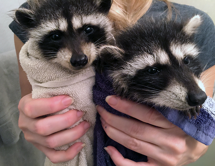 baby raccoons just after a bath, swaddled in towels