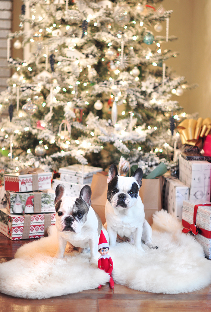 christmas frenchies in front of the tree