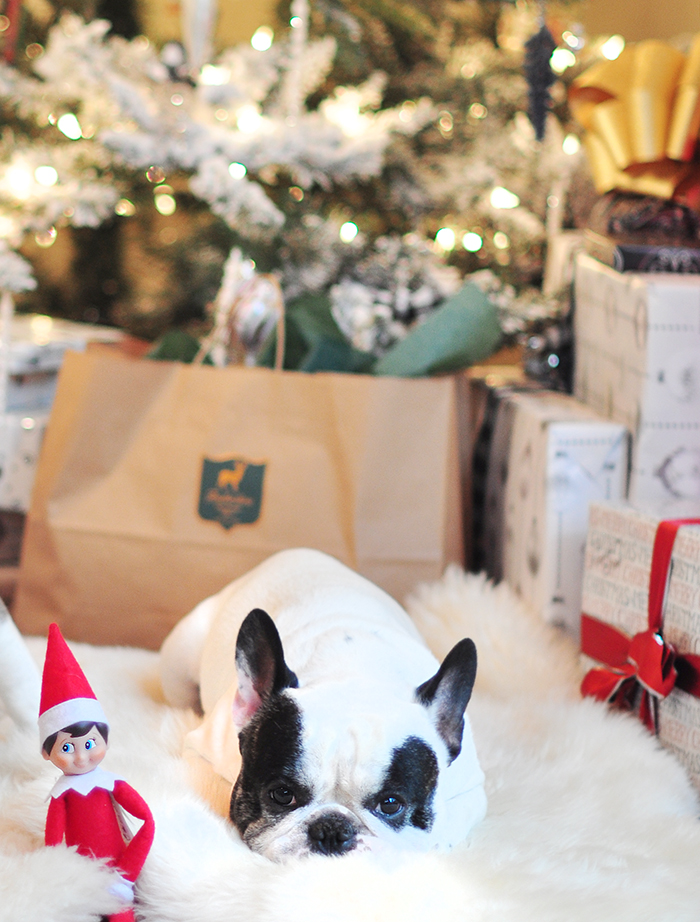 frenchie laying in front of the tree with the elf on the shelf