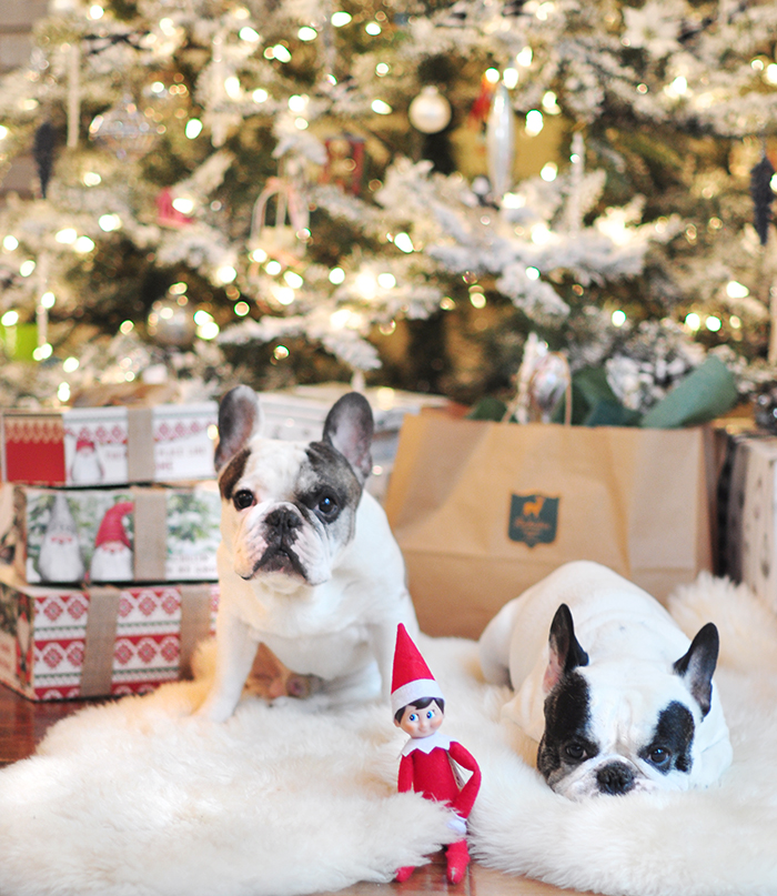 white french bulldogs in front of the christmas tree