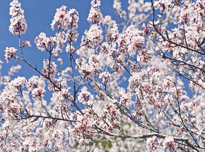 cherry blossom trees blooming, blue skies, lake arrowhead