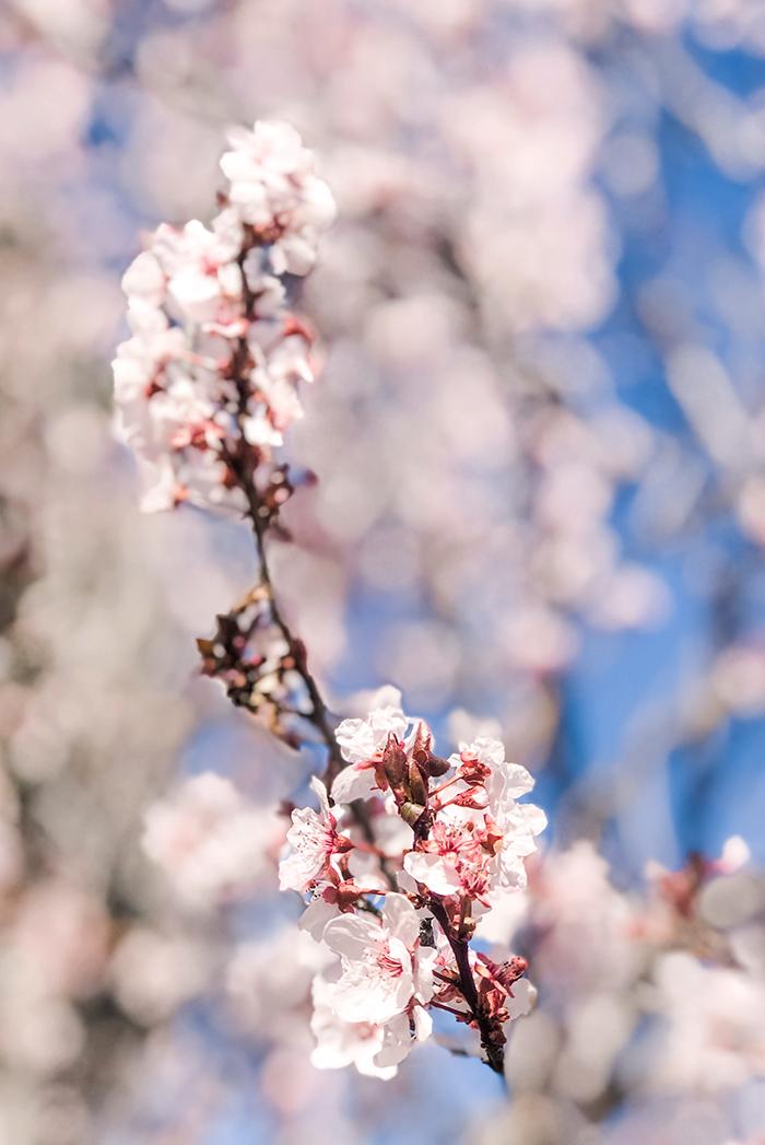 blooms, buds, trees, flowers, cherry blossom trees blooming, blue skies, lake arrowhead