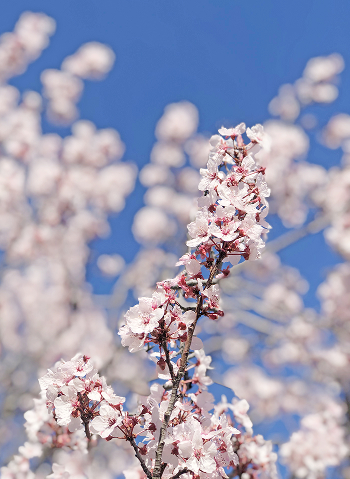 blooms, buds, trees, flowers, cherry blossom trees blooming, blue skies, lake arrowhead