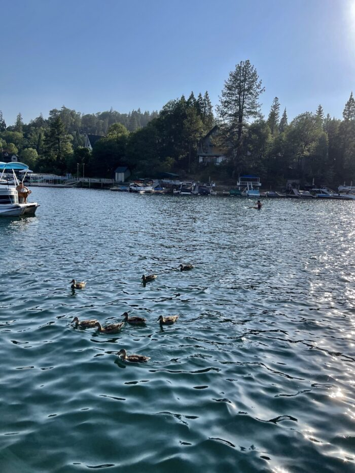 ducks, ducks on the lake, ducks in lake arrowhead, feeding the ducks, swimming ducks