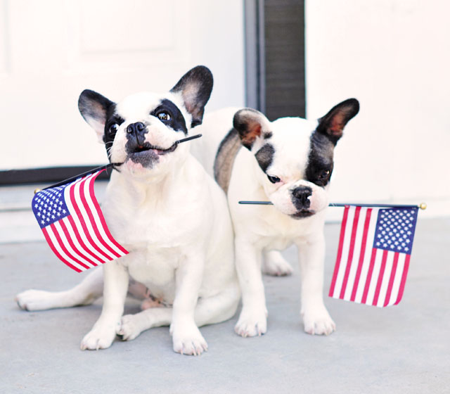 4th of July Dogs - frenchie puppies