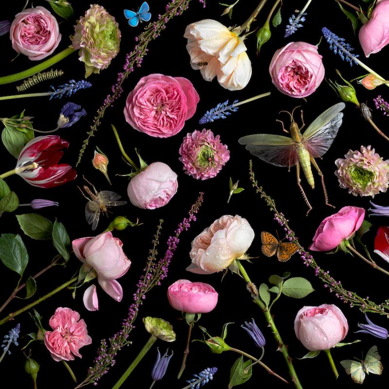 Paulette Tavormina, Botanical VI (Juliet Roses), 2013
