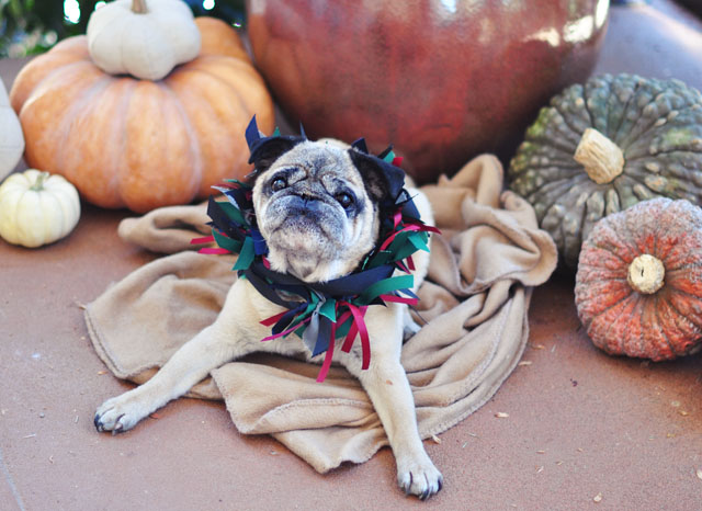 Bebop Pumpkin Pug