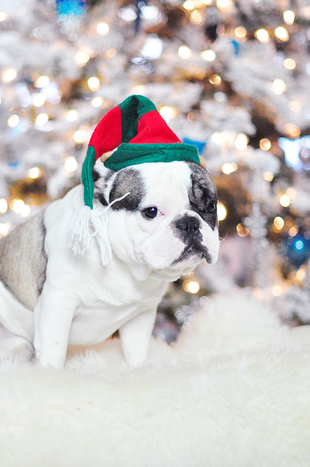 Christmas Dogs_French Bulldogs_ Randy-elf hat 6