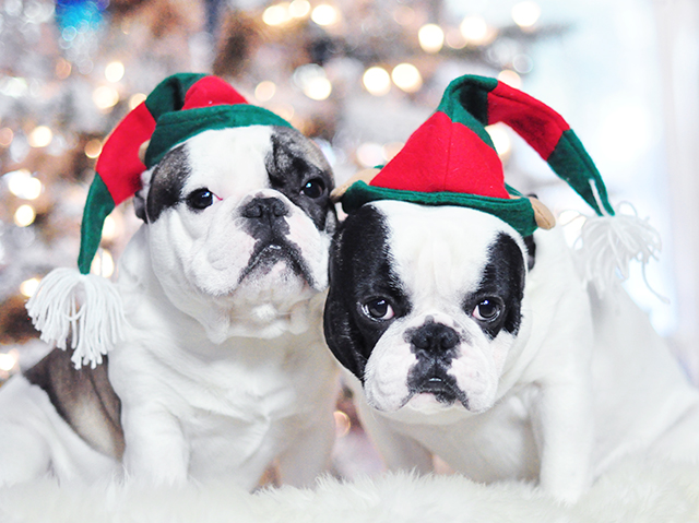 Christmas Dogs_French Bulldogs_Trevor and Randy-elf hats 1