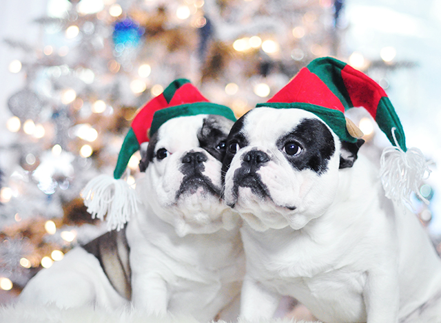Christmas Dogs_French Bulldogs_Trevor and Randy-elf hats 2
