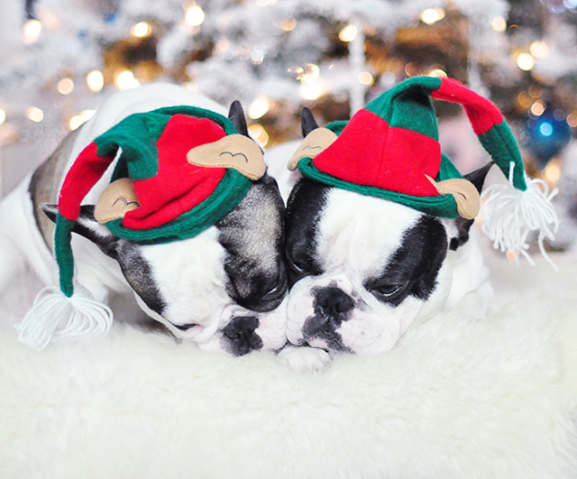 Christmas Dogs_French Bulldogs_Trevor and Randy-elf hats 3-1