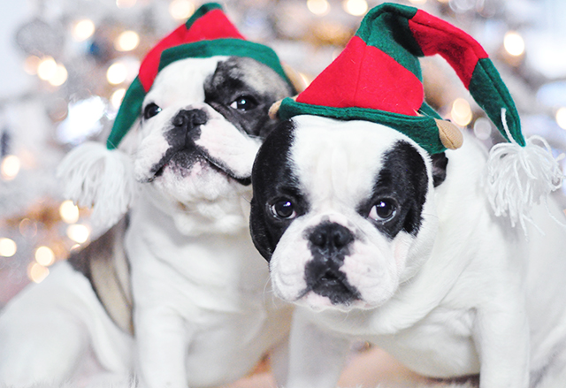 Christmas Dogs_French Bulldogs_Trevor and Randy-elf hats 4