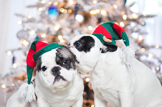 Christmas Dogs_French Bulldogs_Trevor and Randy-elf hats 7