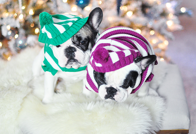 Christmas dogs in christmas striped sweaters_2