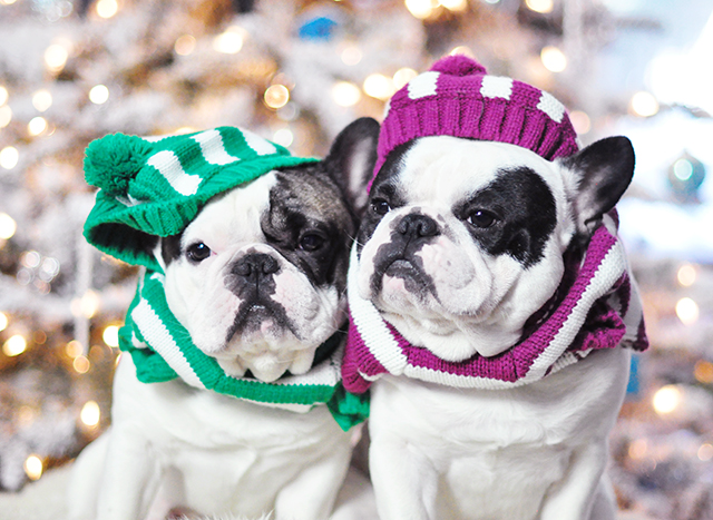Christmas dogs in christmas striped sweaters_4