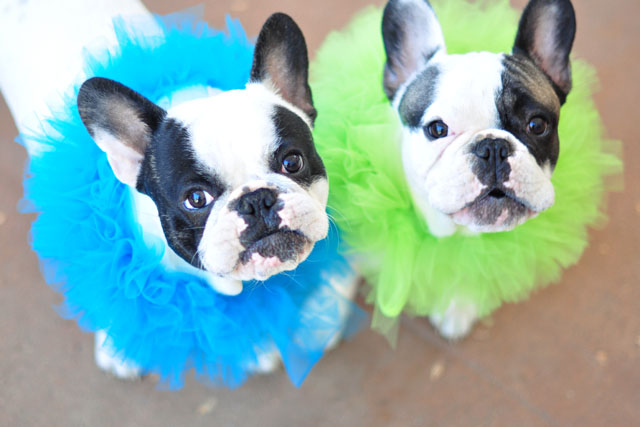 Clown Pups-French Bulldogs in costume