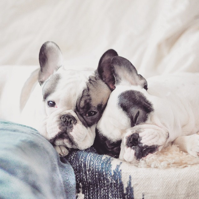 Cuddle french bulldog brothers