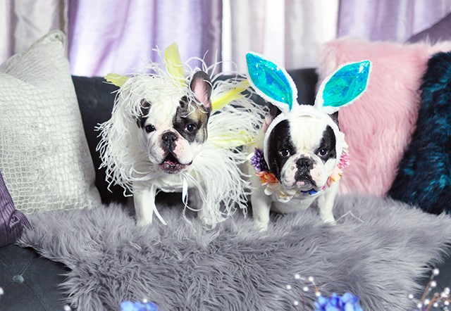 French Bulldogs dressed up for Easter