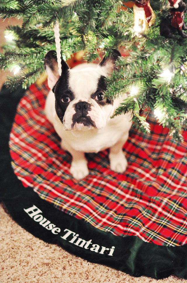 French Bulldog under the  Christmas tree