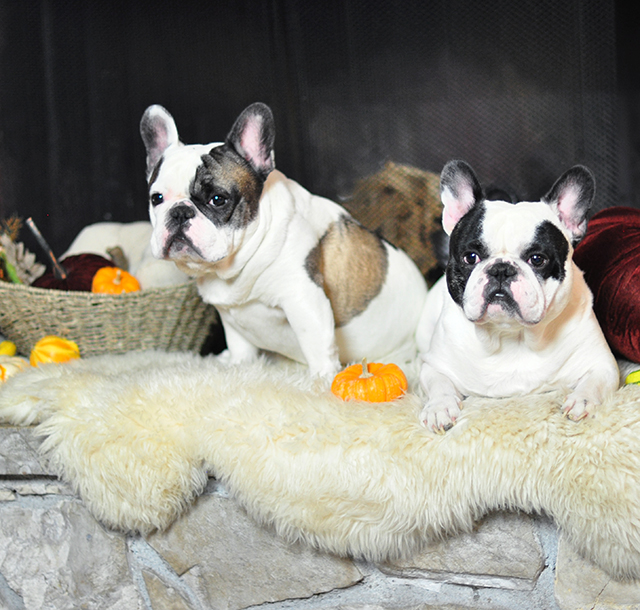 french-bulldogs-3