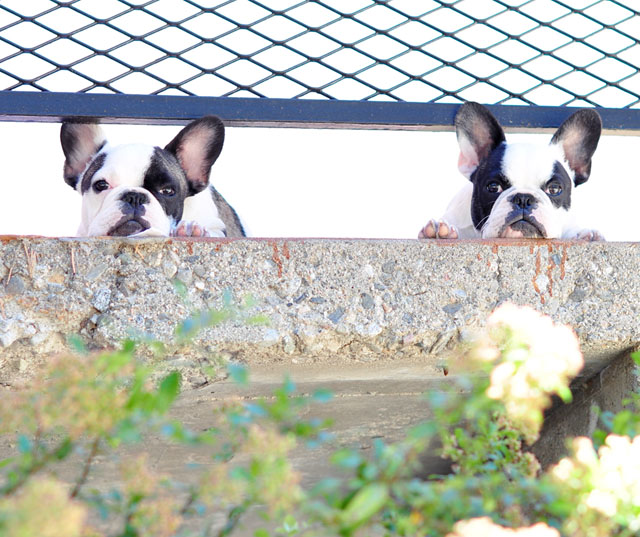 French Bulldogs under the fence