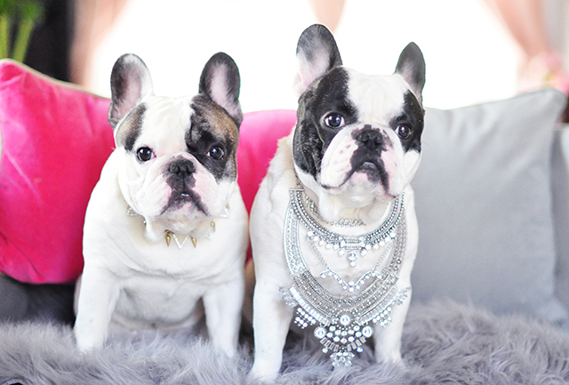 French Bulldogs wearing necklaces