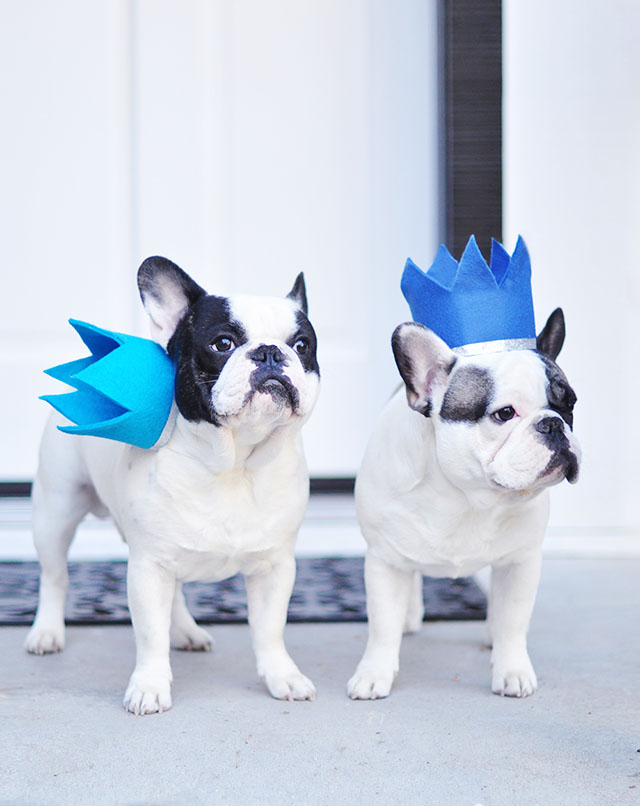 French Bulldogs with felt crowns