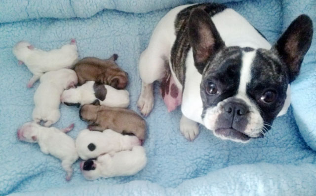 French bulldog mama and her pups -2 weeks old