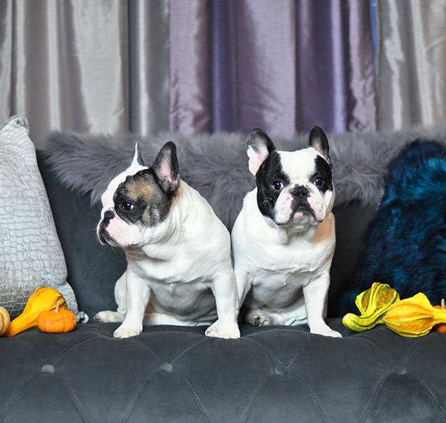 french-bulldogs-black-and-white-pied