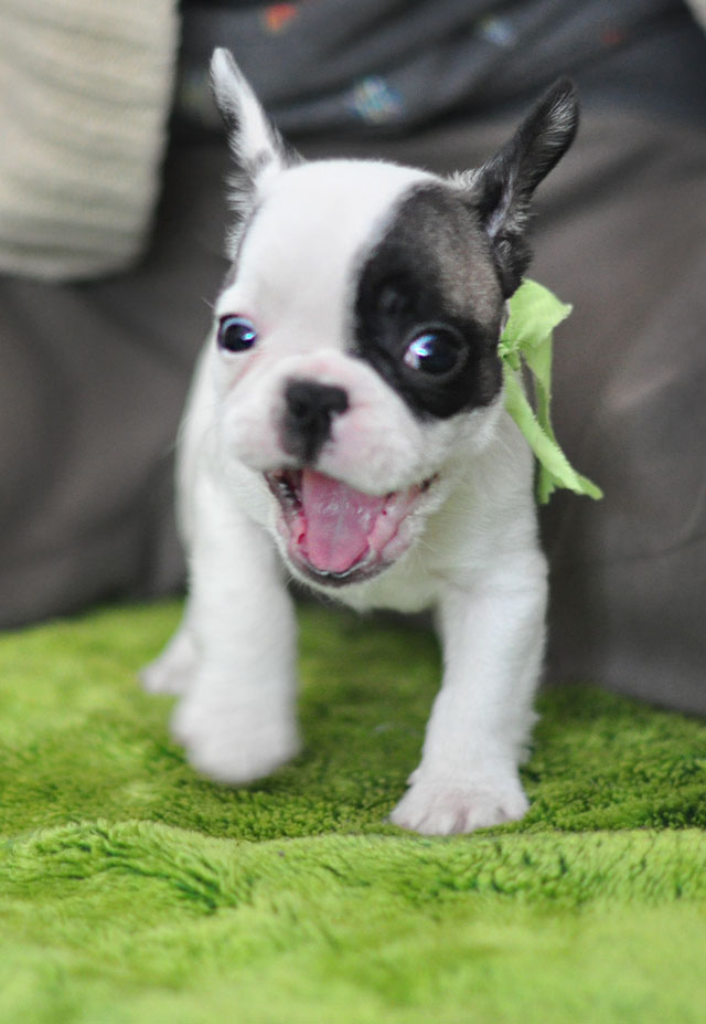 Frenchie Puppy-Randy