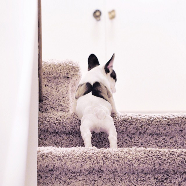Frenchie Puppy takes the stairs