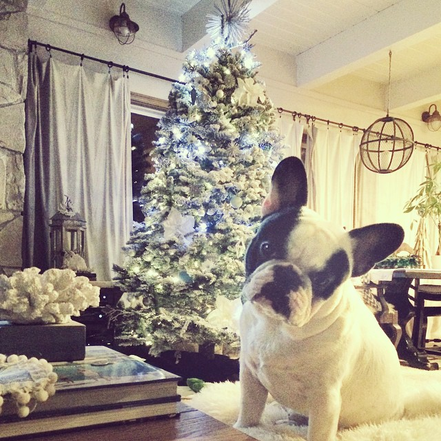 Frenchie in front of the christmas tree