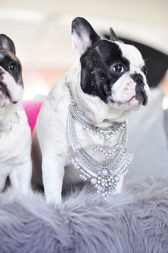 Frenchie wearing a necklace
