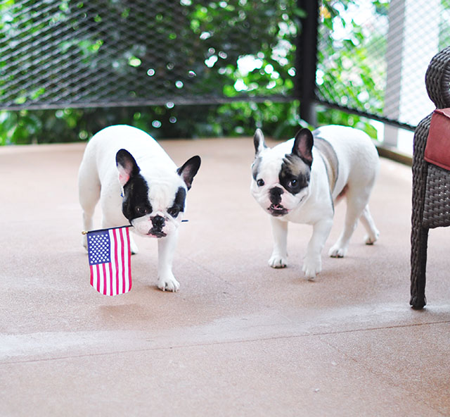 Patriotic Pets_4th of July Frenchies