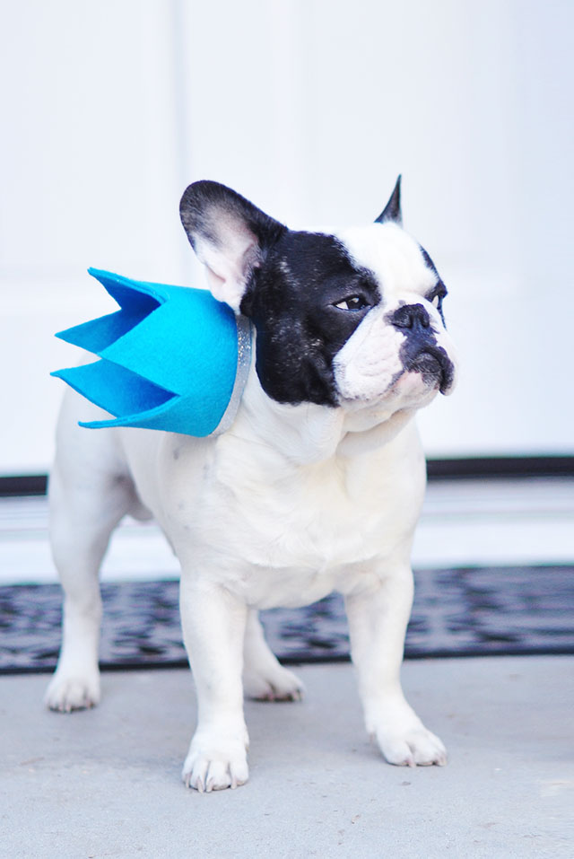 Pied French Bulldog with crown