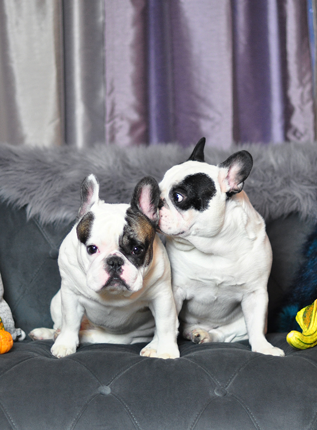 pied-french-bulldogs