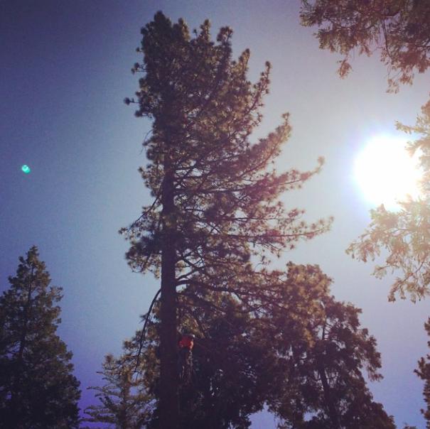 tall cedar tree and the sun