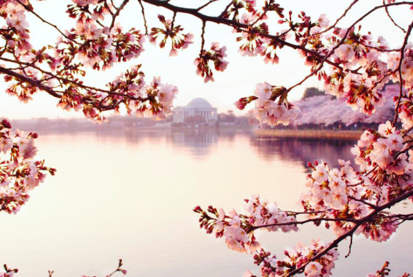 Tidal Basin Cherry Blossoms