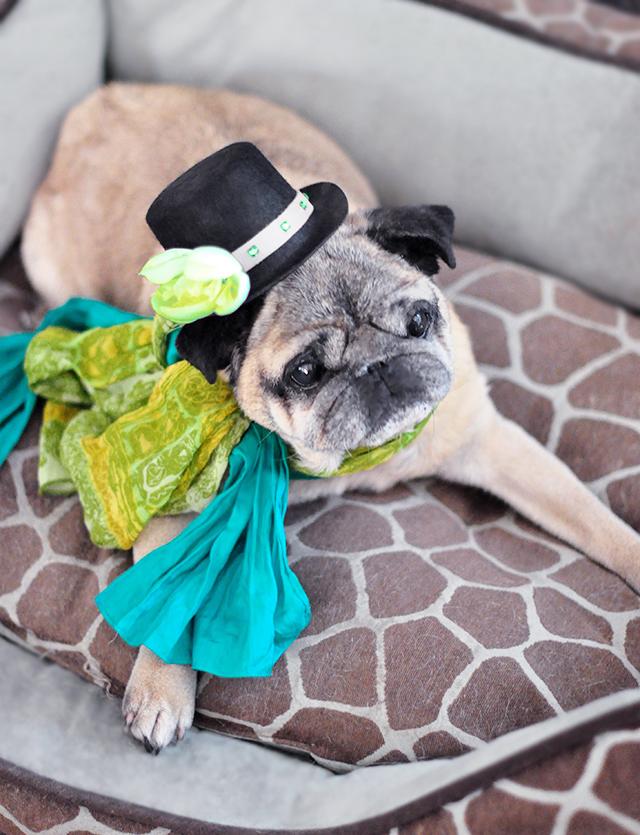 St Patricks Day irish pug